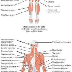 Human Muscle Cell Diagram 1992 Dodge Dakota Le Wiring Pacific Medical Training Muscular System