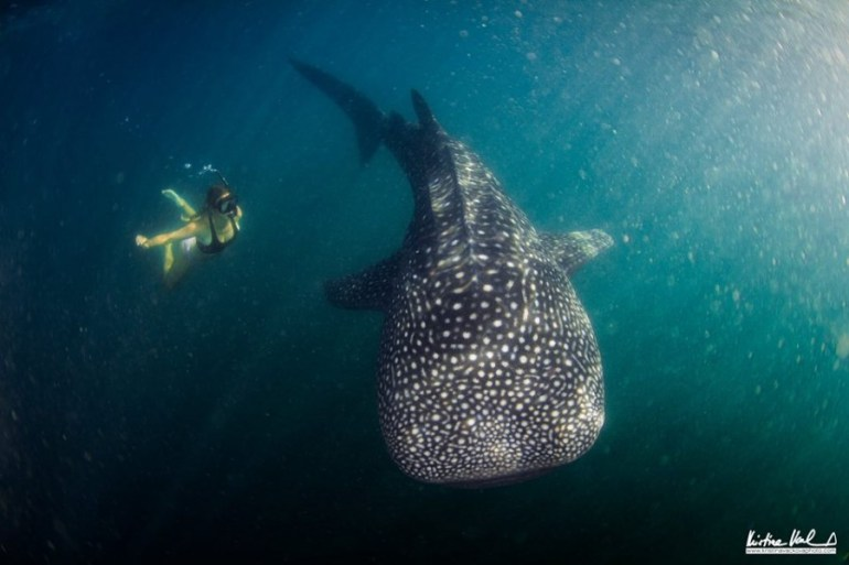 Things to do in Santa Catalina Panama - swim with whale sharks