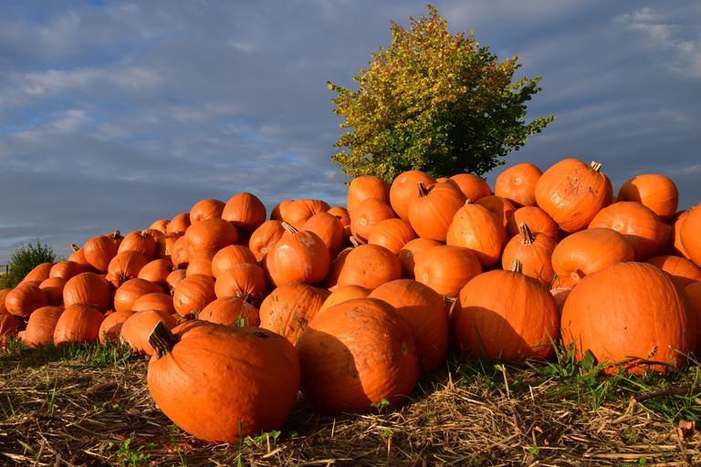 pumpkin_giant_pumpkin_squash