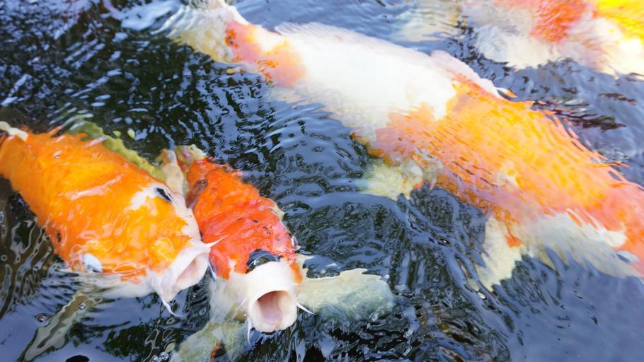fish_aquarium_garp_fish_0