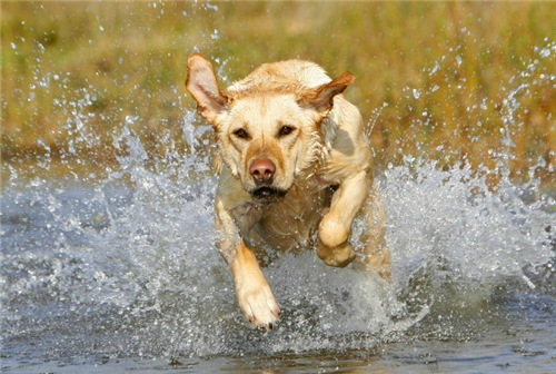 Photo of 7 ყველაზე ჭკვიანი ძაღლი, რომელთა ჯიშიც გამოყვანილია სპეციალურად სანადიროდ