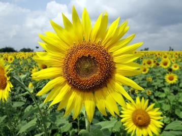flower-sunflower-karnataka-india-64221