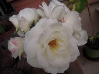 Flowers 060