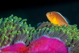 A clownfish dances on its host anemone