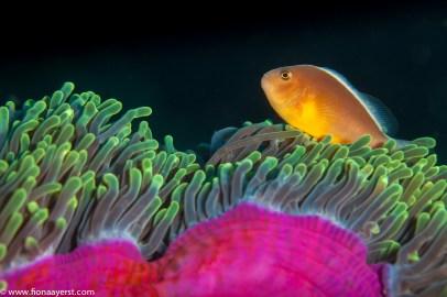 A clownfish dances on its host anemone