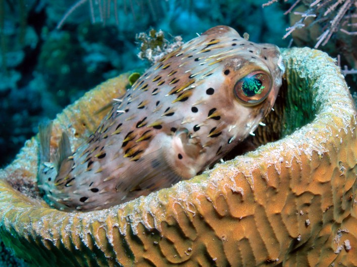 Puffer Fish at School House Reef
