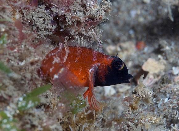 A male roundscale triplefin in Nelson Bay.