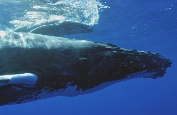 Humpback whales visit sanctuary waters each winter to mate, calve, and nurse their young. These whales spend more than 90 percent of their lives under the surface of the water, and often call to one another using complex songs. When diving and boating, make sure to give these majestic animals plenty of space. (Photo credit: NOAA Permit #774-1714)