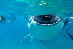 whale shark mouth open2