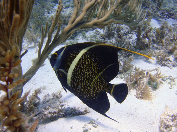 The reefs of Florida Keys National Marine Sanctuary are home to more than 500 species of fish, including young French angelfish like this one. (Photo credit: NOAA)