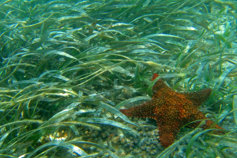 Extensive seagrass beds within sanctuary waters are home to sea stars and manatees alike. (Photo credit: NOAA)