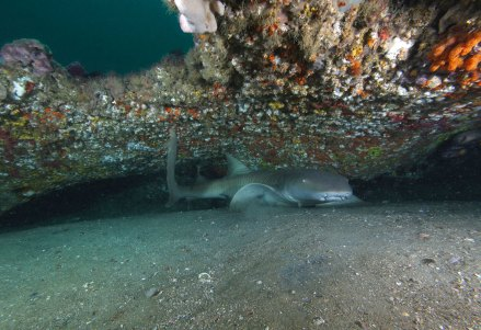 Some species of sharks call the sanctuary home, too. Often found lying in the sand under ledges or overhangs, nurse sharks rest during the day and feed primarily during the night. (Photo: Greg McFall/NOAA)