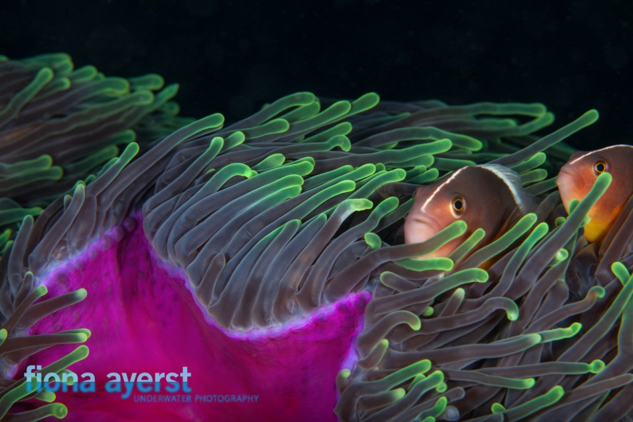 Once you can shoot one clownfish successfully you can pit your skills against two.