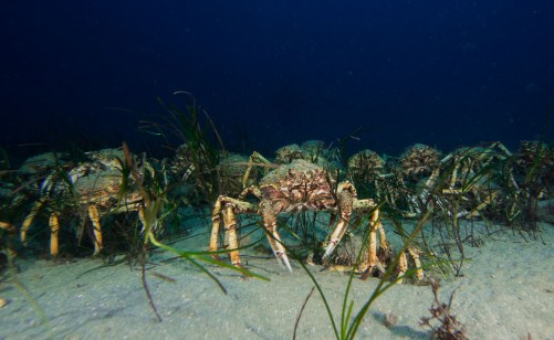 spider crab migration