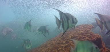 Marine Life on Vamar- spadefish (Photos Courtesy of Daly's Dock and Dive)