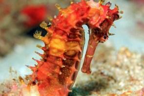 Spiny Seahorse (Hippocampus Histrix, aka Thorny Seahorse). Padang Bai, Bali, Indonesia