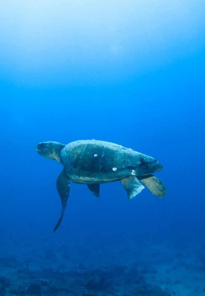 Situ - Turtle