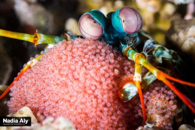 A technicolor mantis shrimp protects an enormous egg sac. If you look closely, you can see the eyes of the shrimp-to-be inside each egg.