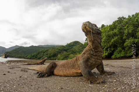 Komodo National Park's most famous land residents are doubtless the Komodo Dragons. Although they look lumbering and slow, they can move quite quickly and their saliva is deadly. (Simon Marsh)