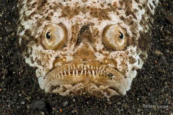 The photogenic stargazer buries itself in the sand and waits for prey, leaping upward to catch its meal with an ambush attack.