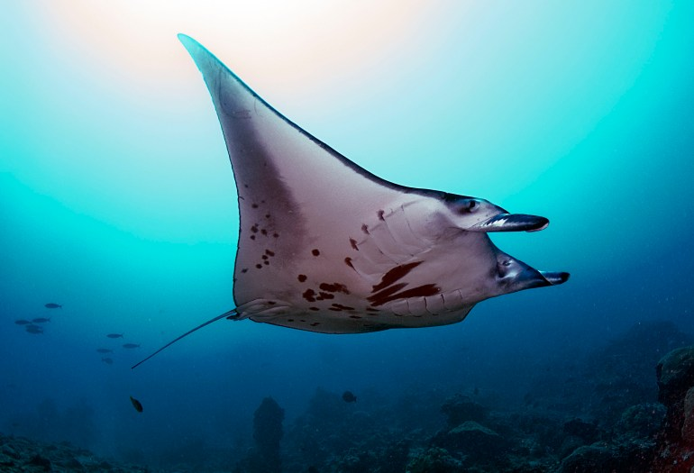 Pohnpei manta ray © Julie Hartup, Micronesian Conservation Coalition