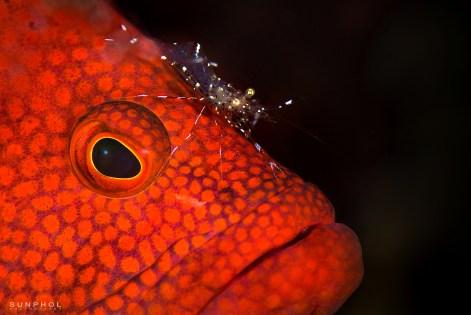 Rock Shrimp cleaning a grouper