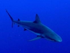 Reef-shark-(2)_web