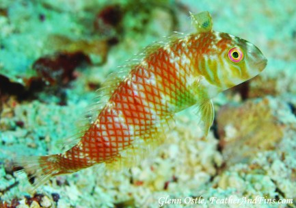 Wrasse by Photographer Glenn Ostle