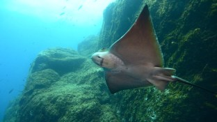 Bat Ray Cave, or Gruta do Ilheu das Cabras, is one of the standout dives on Terceira. (Photo credit: Joao Bruges)