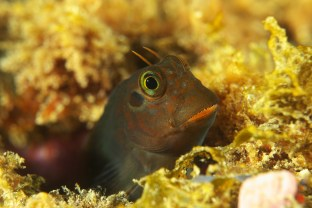 Lots of sites on Terceira feature photogenic macro life like this blenny. (Photo credit: Joao Bruges)