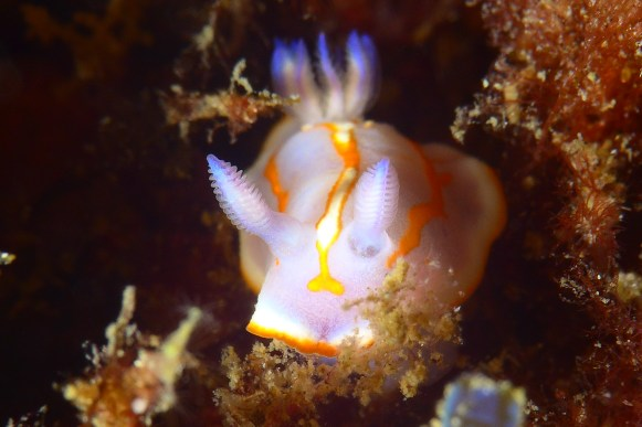 Bright pops of color like this nudibranch are common on Terceira dive sites. (Photo credit: Joao Bruges)