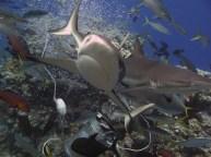 Shark feeding dive at North Horn
