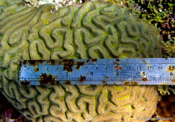 Brain corals can look very similar in photographs, but the size of the ridges can be used to determine which species you are looking at. This photo is of a Colpophyllia natans.