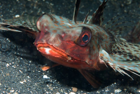 Marine species flying gurnard scuba diver life for What sound does a fish make