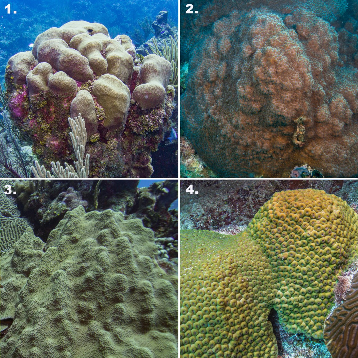 There are four species of star coral in two separate genera