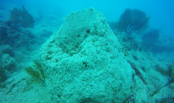 Sponge mortality is widespread, mainly due to fine sediment choking the filter feeders. Credit: Steve Gittings/NOAA