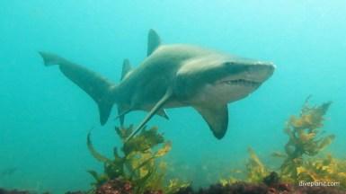 5914-Grey-Nurse-Shark-diving-North-Rock-Broughton-Island-diving-Nelson-Bay-NSW-Australia-Diveplanit-5914