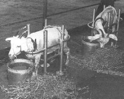 Goats on the deck of a test ship waiting to be irradiated by the Able Test