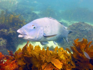 Like a friendly puppy, this blue groper will say hello every time you dive at Cabbage Tree Bay. Photo by Diveplanit.com
