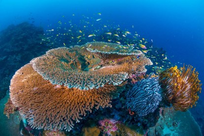 Enormous table corals can be seen around the island. (Photo credit: Gary Bell)
