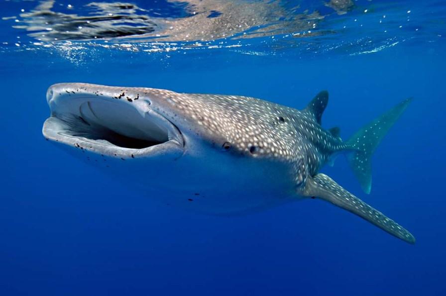 Whale sharks can be seen sometimes while snorkeling offshore. (Photo credit: Robin Hughes)