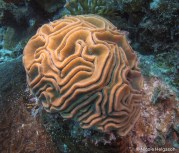 Grooved brain corals can have narrow or wide ridges depending on the colony. Ridges will always have a groove in the center.