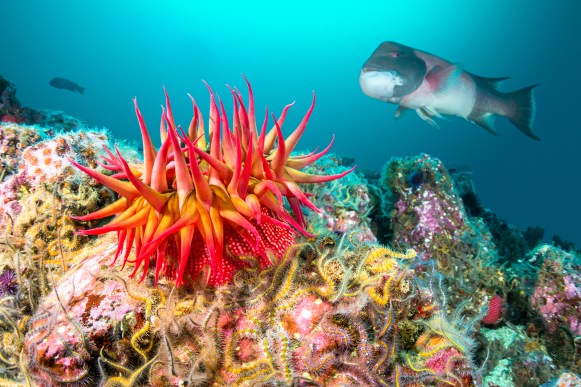 A red rose anemone perched atop a reef in Southern California's