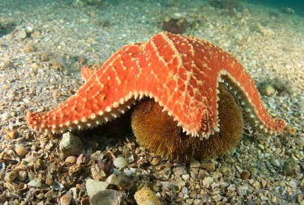 Cushion Sea Star and Sea Urchin
