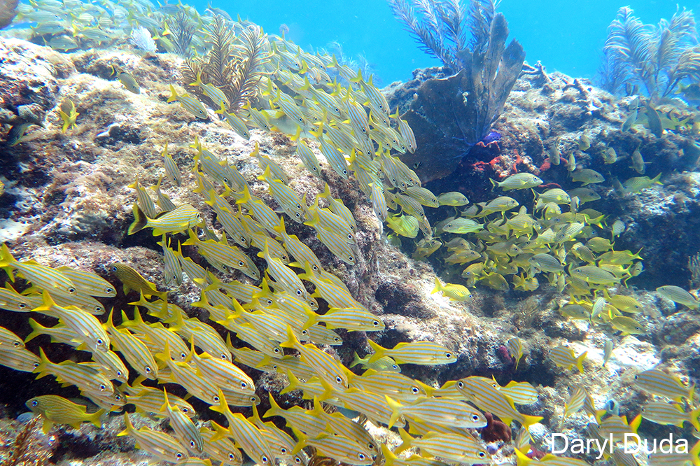 Waves of vibrant yellow fish flow over Snapper Ledge. (Photo credit: Daryl Duda)