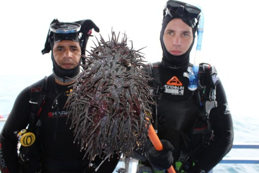 COTS Divers holding crown of thorns