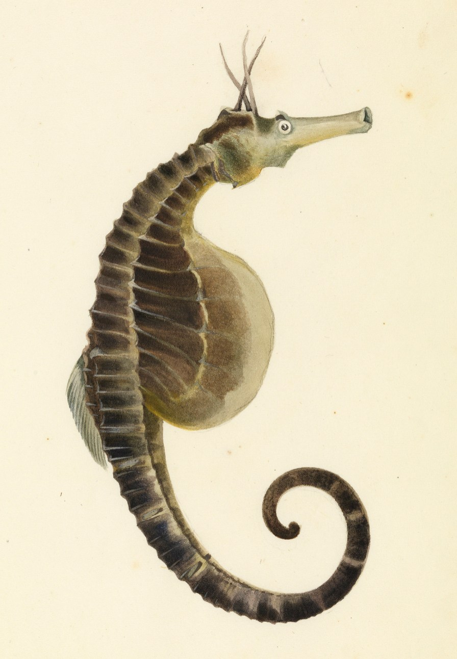 Sketchbook_of_fishes_-_18._(Pot_bellied)_Sea_horse_-_William_Buelow_Gould,_c1832