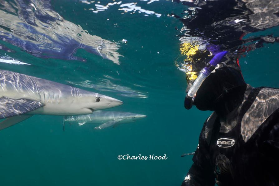 Blue sharks off Corwall. Photo credit: Charles Hood