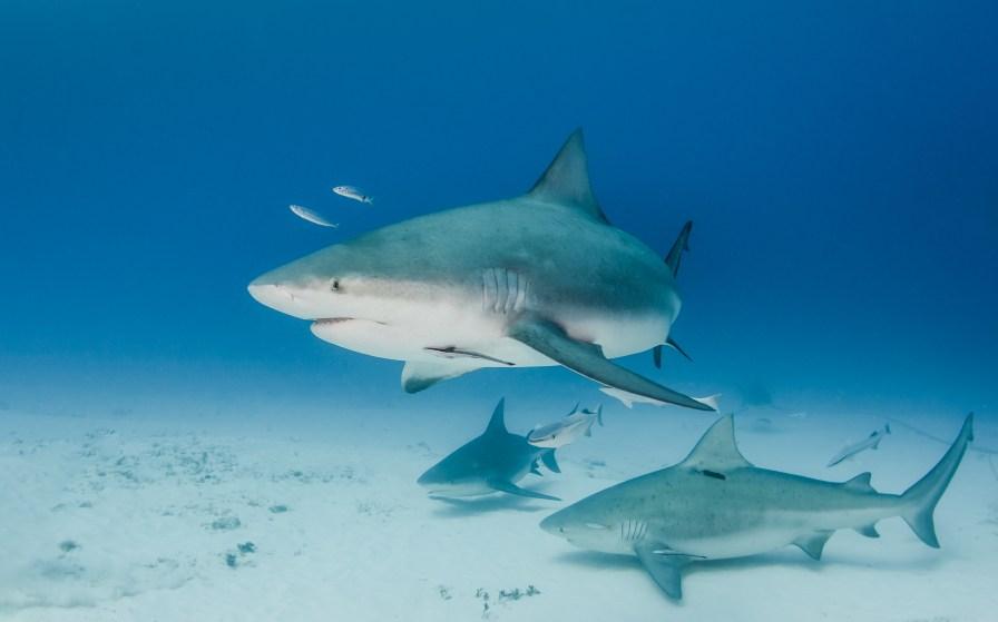 Bull sharks in Playa del Carmen. Photo credit: Daniel Norwood