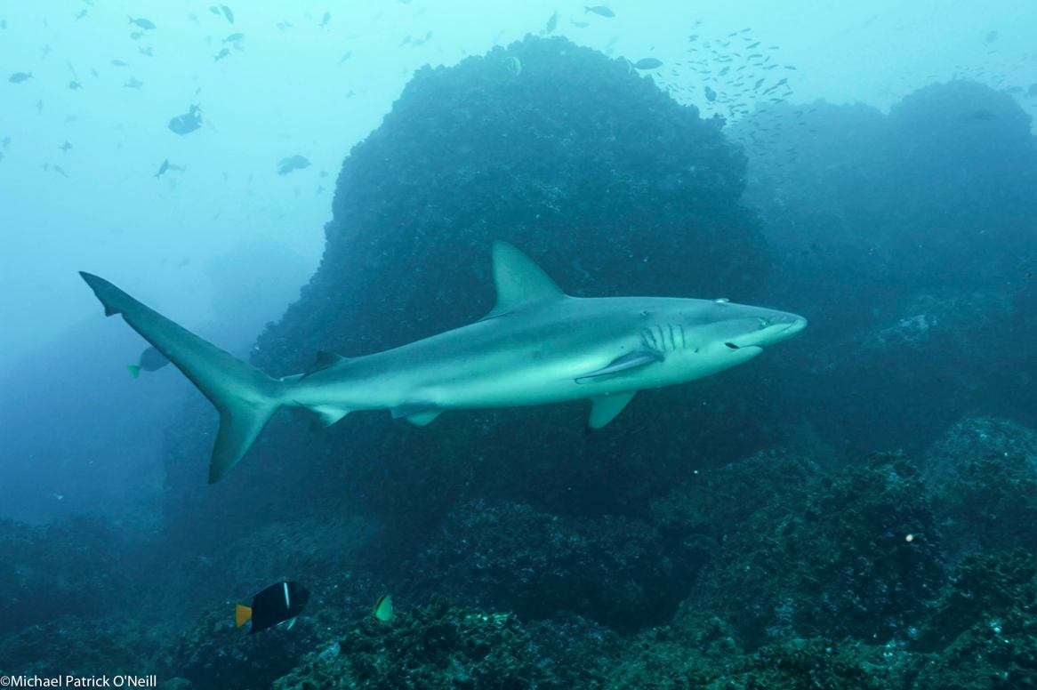 Galapagos shark in Galapagos. Photo credit: Michael Patrick O'Neill